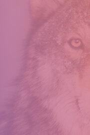 HR2day_Wolf_release